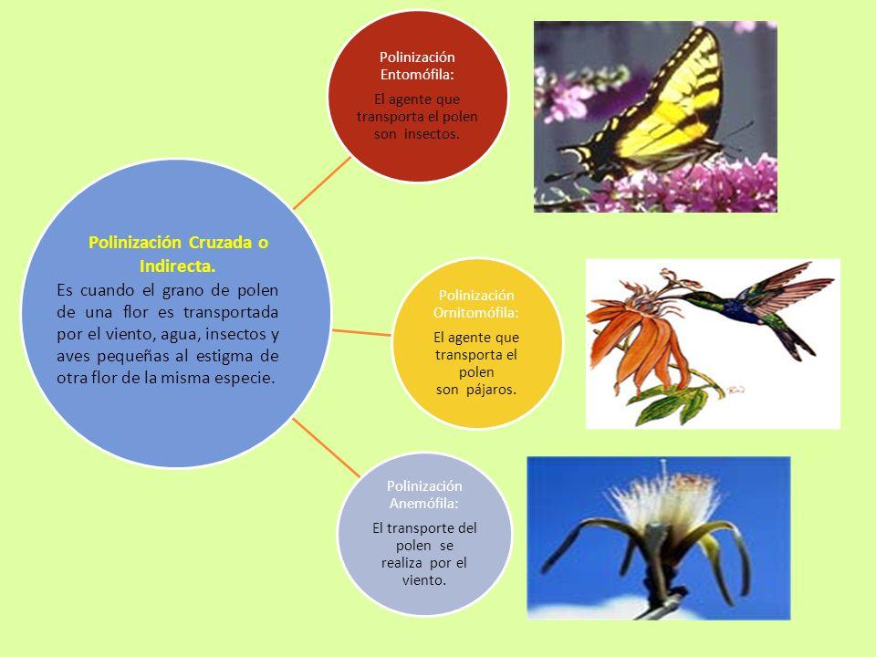Polinización Entomófila: El agente que transporta el polen son insectos. Polinización Ornitomófila: El agente que transporta el polen son pájaros. Pol