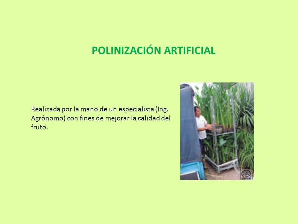 Realizada por la mano de un especialista (Ing. Agrónomo) con fines de mejorar la calidad del fruto. POLINIZACIÓN ARTIFICIAL
