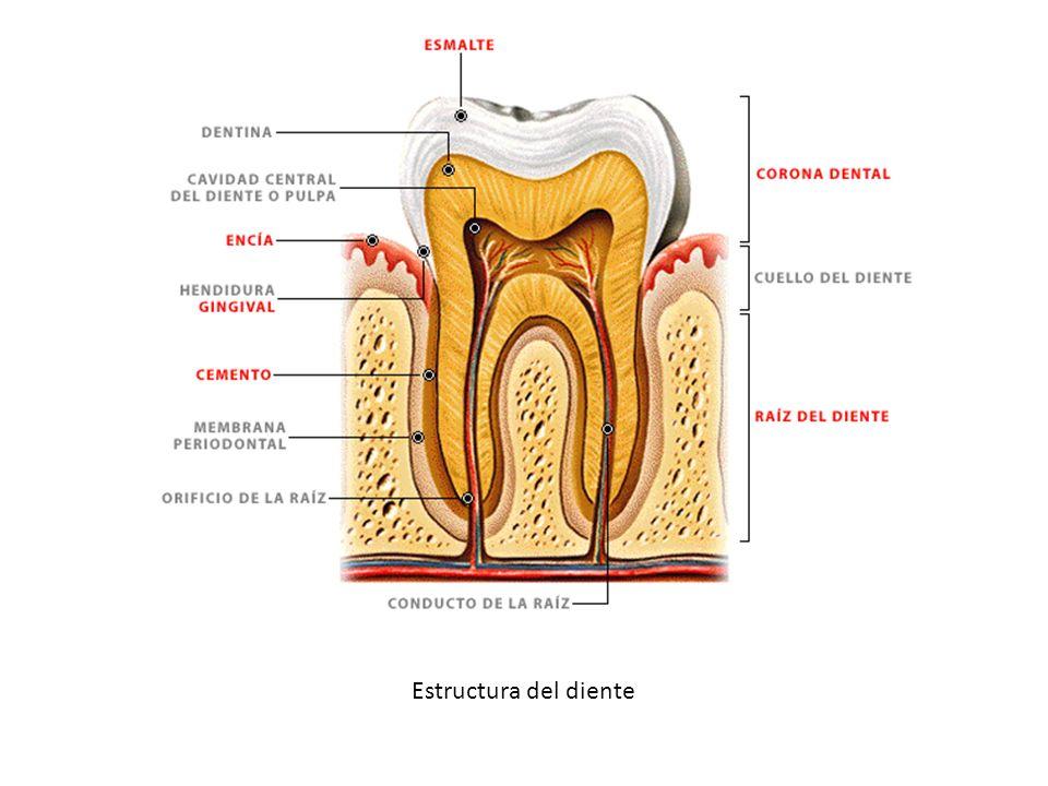 Estructura del diente