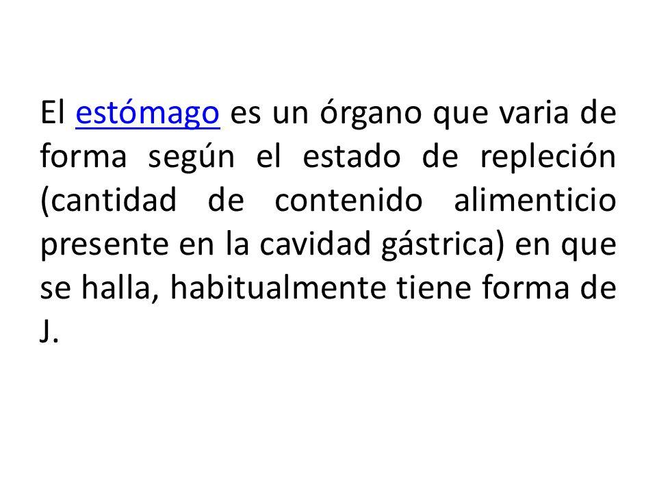 El estómago es un órgano que varia de forma según el estado de repleción (cantidad de contenido alimenticio presente en la cavidad gástrica) en que se