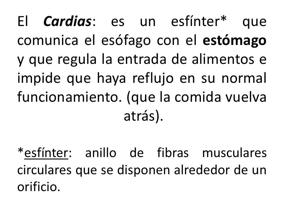El Cardias: es un esfínter* que comunica el esófago con el estómago y que regula la entrada de alimentos e impide que haya reflujo en su normal funcio