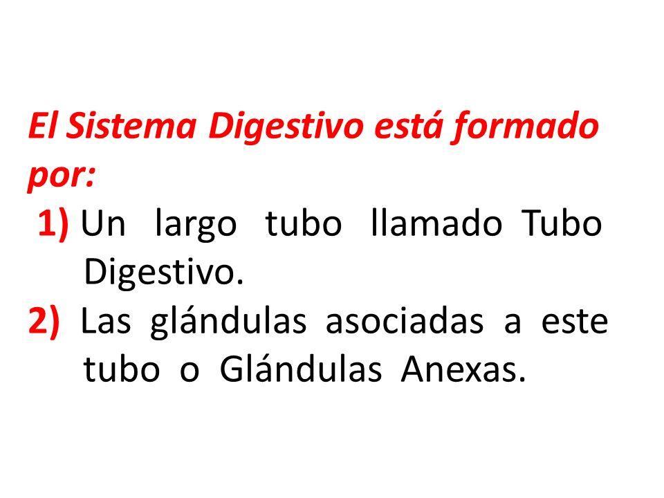 El Sistema Digestivo está formado por: 1) Un largo tubo llamado Tubo Digestivo. 2) Las glándulas asociadas a este tubo o Glándulas Anexas.