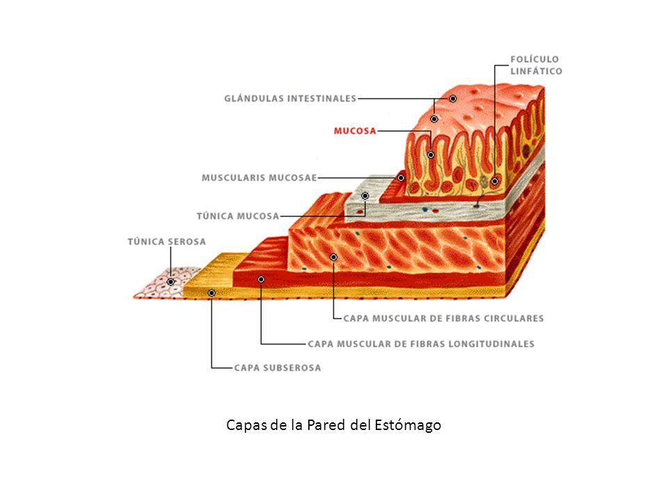 Capas de la Pared del Estómago