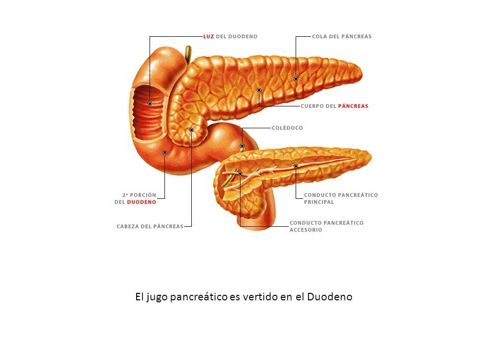 El jugo pancreático es vertido en el Duodeno