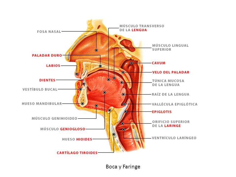 Partes de la Boca Vestíbulo de la Boca Cavidad bucal o boca Es el espacio que queda entre la parte interna de los labios y la cara externa de los dientes Va desde la cara interna de los dientes hasta la entrada de la faringe