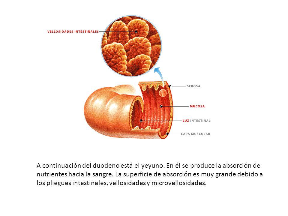 A continuación del duodeno está el yeyuno. En él se produce la absorción de nutrientes hacia la sangre. La superficie de absorción es muy grande debid
