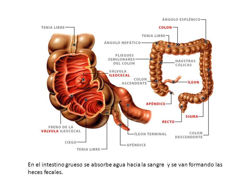 En el intestino grueso se absorbe agua hacia la sangre y se van formando las heces fecales.