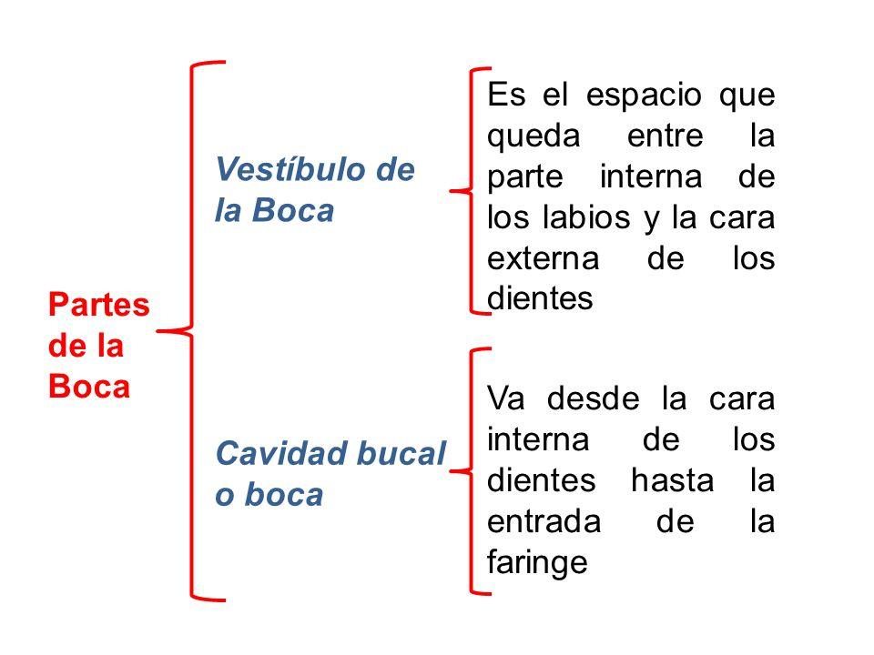 Partes de la Boca Vestíbulo de la Boca Cavidad bucal o boca Es el espacio que queda entre la parte interna de los labios y la cara externa de los dien