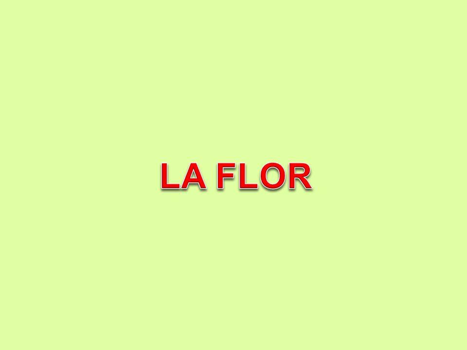 LA FLOR: es un conjunto de hojas modificada que cumplen con una función propia: la reproducción Verticilos florales Un verticilo floral es un conjunto de hojas modificadas que cumplen una función específica.