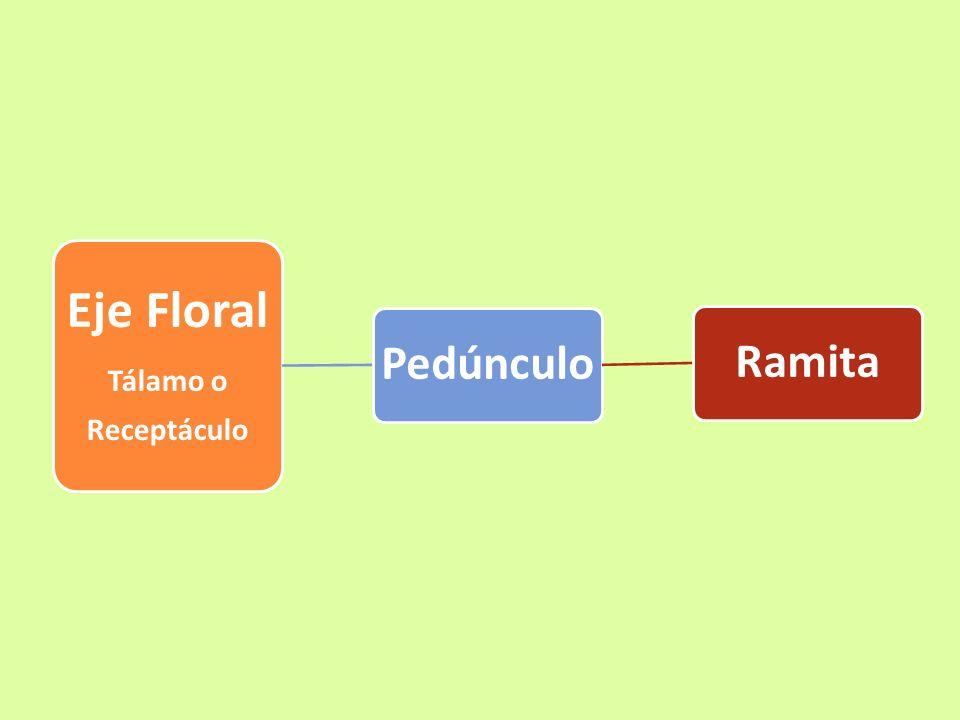 Eje floral: Es una estructura que soporta las partes de la flor.