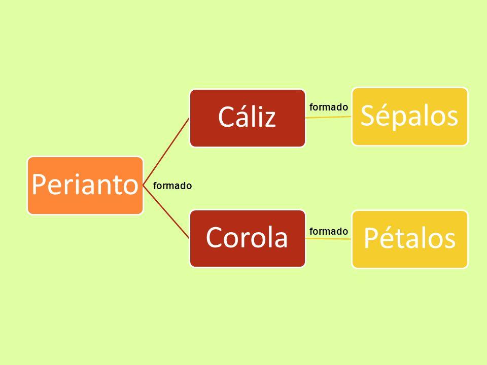 Perianto: constituye la parte no reproductiva de la flor, cuya función es la protección del androceo y el gineceo.