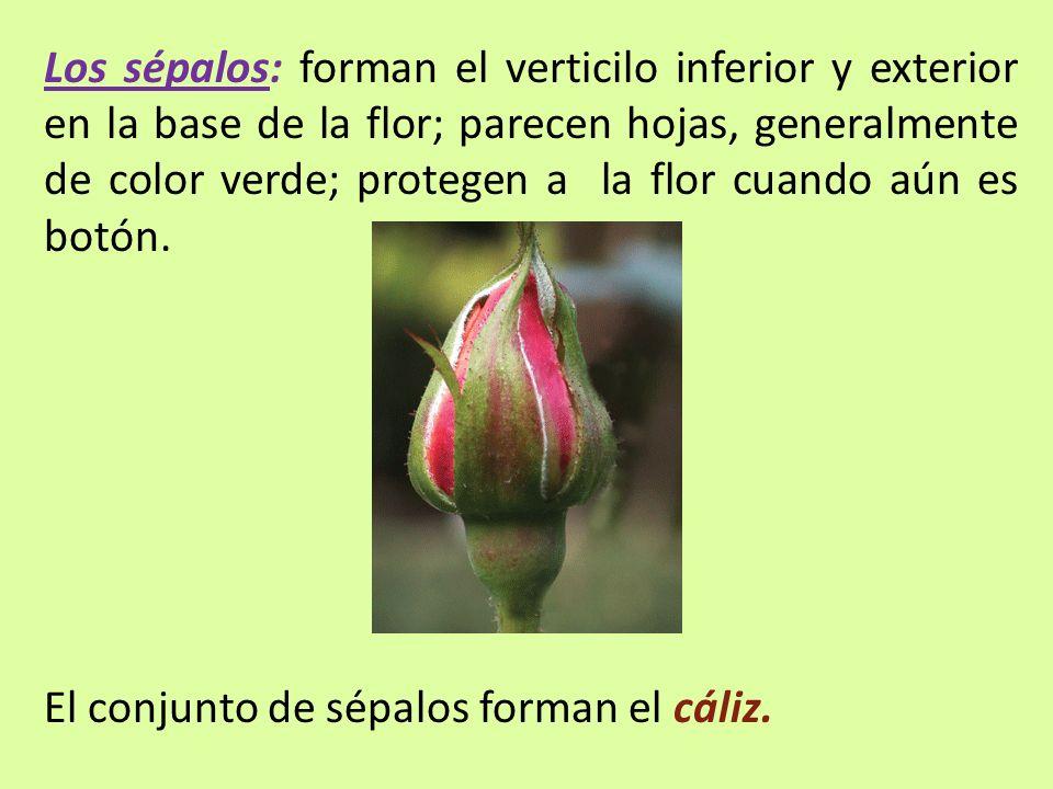 Los sépalos: forman el verticilo inferior y exterior en la base de la flor; parecen hojas, generalmente de color verde; protegen a la flor cuando aún