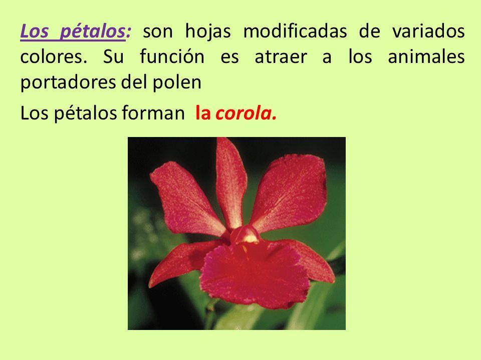 Los pétalos: son hojas modificadas de variados colores. Su función es atraer a los animales portadores del polen Los pétalos forman la corola.