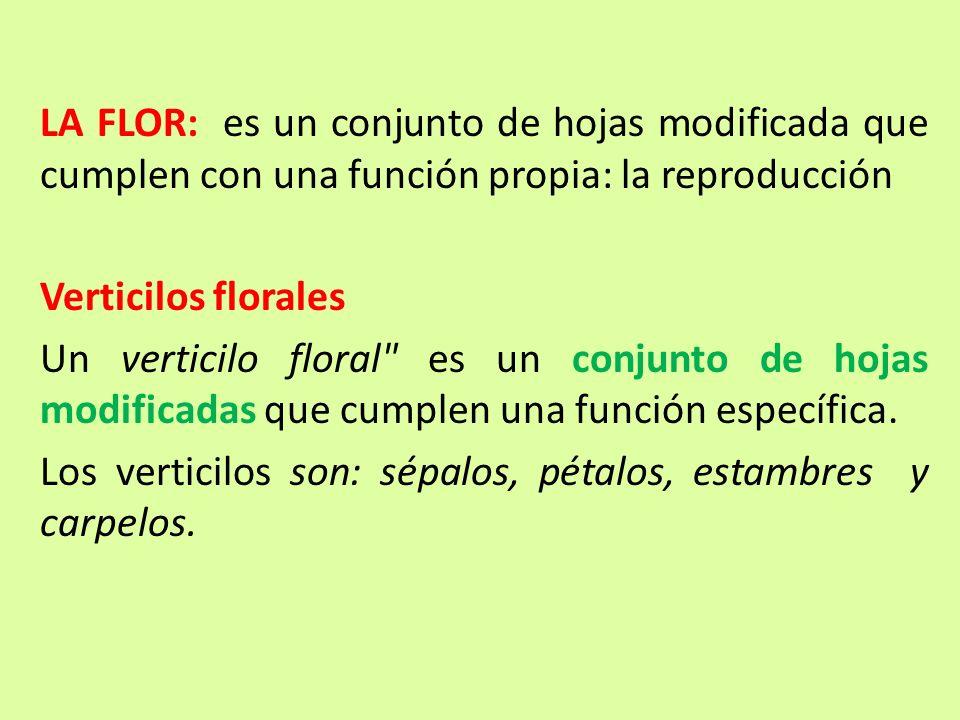 LA FLOR: es un conjunto de hojas modificada que cumplen con una función propia: la reproducción Verticilos florales Un verticilo floral