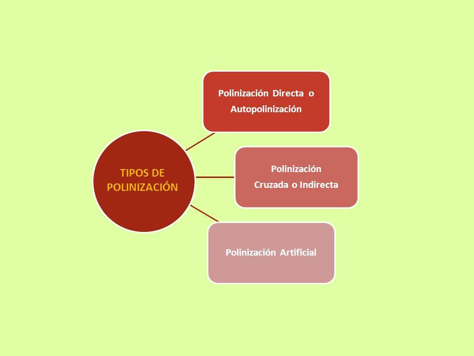Polinización Directa o Autopolinización Polinización Cruzada o Indirecta Polinización Artificial TIPOS DE POLINIZACIÓN