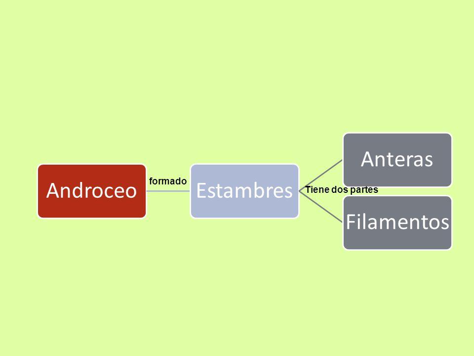 Androceo: órgano sexual masculino de la flor y está constituida por estambres Los Estambres: Son hojitas que se han transformado con la finalidad de llevar el polen.
