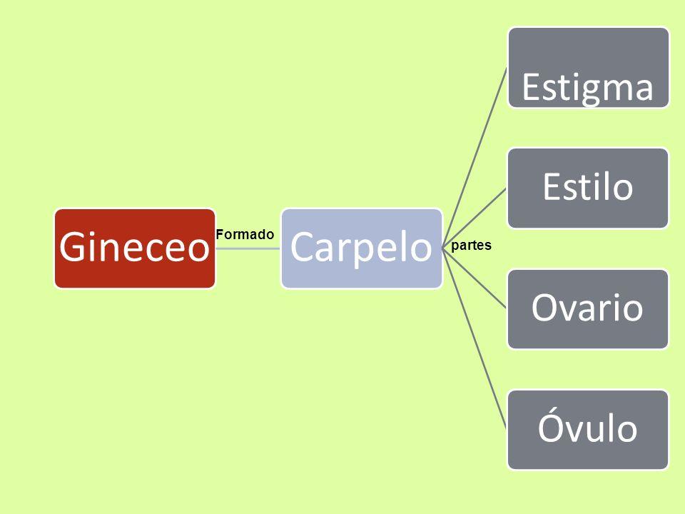 GINECEO O PISTILO: Es el órgano femenino de la flor y que está constituida por Carpelos Los Carpelos: son hojas modificadas que aún conservan su color verde, se localizan en el centro de la flor rodeado por los estambres.