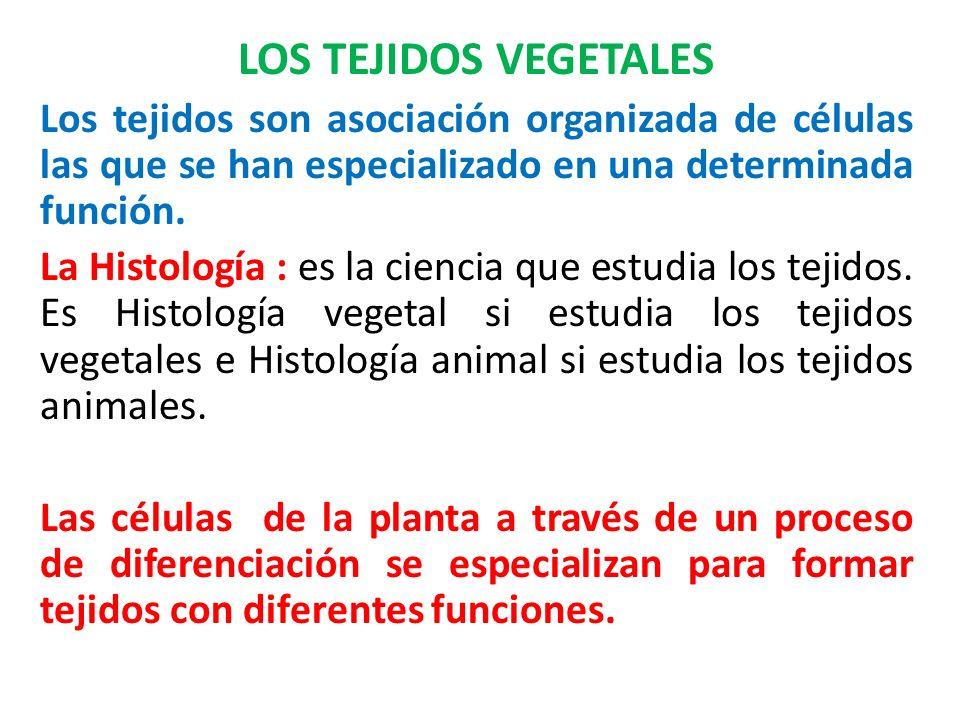 LOS TEJIDOS VEGETALES Los tejidos son asociación organizada de células las que se han especializado en una determinada función. La Histología : es la