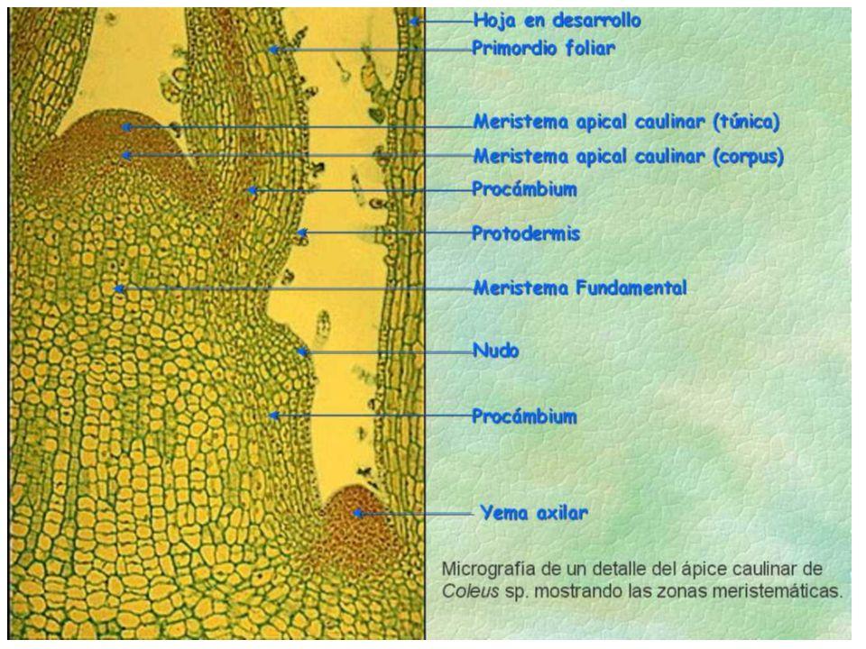 Meristemas secundarios se originan de los meristemas primarios.