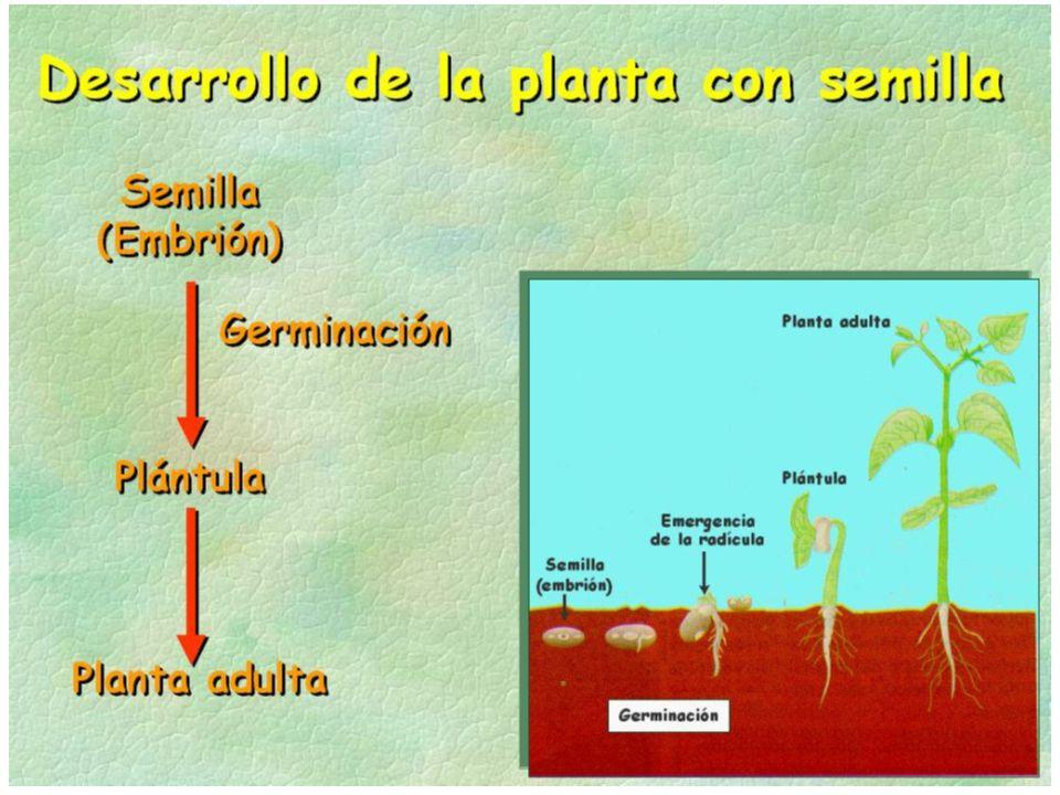 La división de las células del felógeno y del cambium hace que la planta crezca en grosor.
