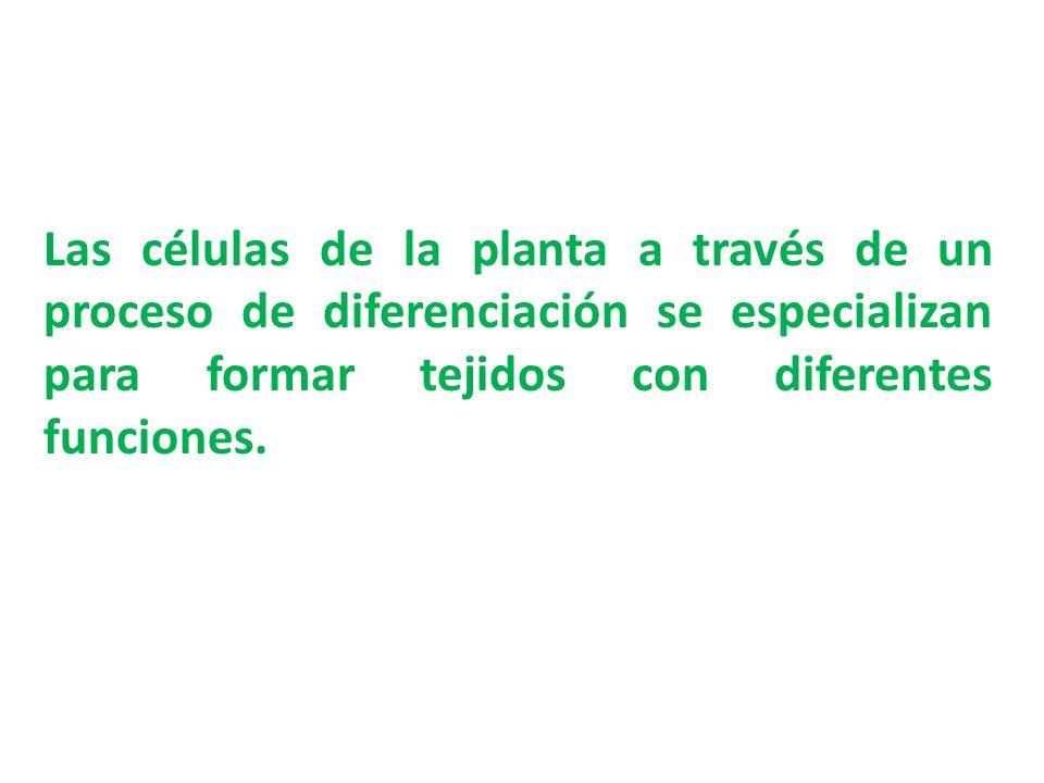 Las células de la planta a través de un proceso de diferenciación se especializan para formar tejidos con diferentes funciones.