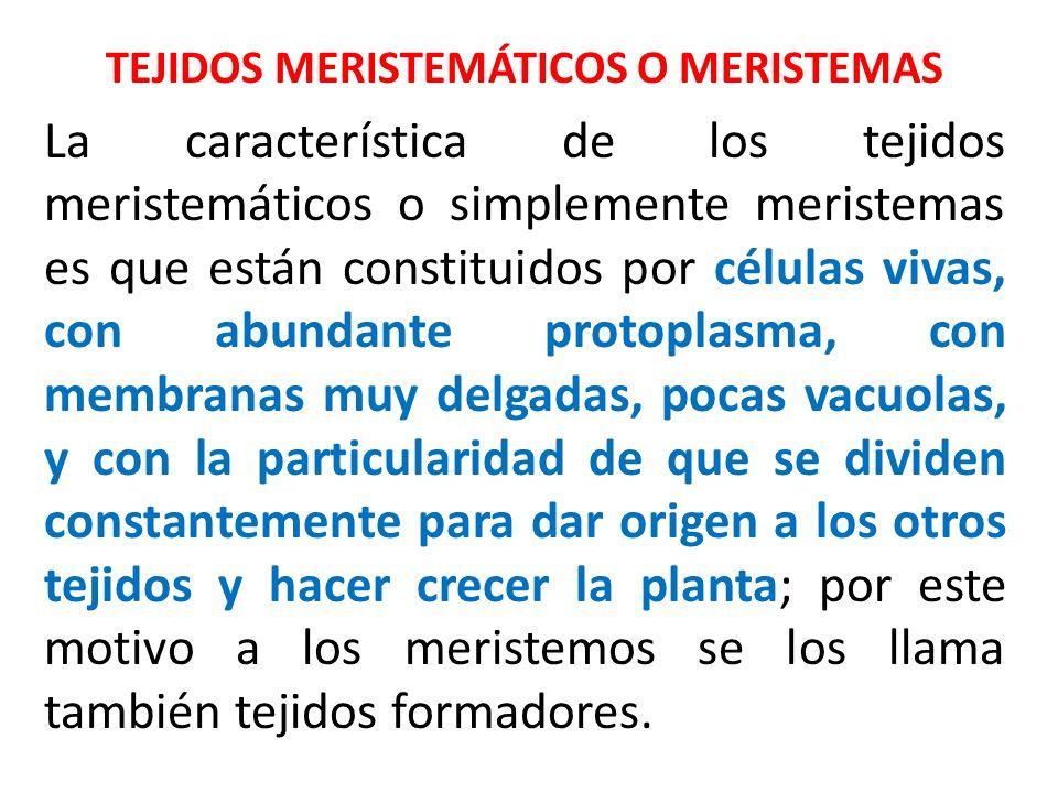 TEJIDOS MERISTEMÁTICOS O MERISTEMAS La característica de los tejidos meristemáticos o simplemente meristemas es que están constituidos por células viv
