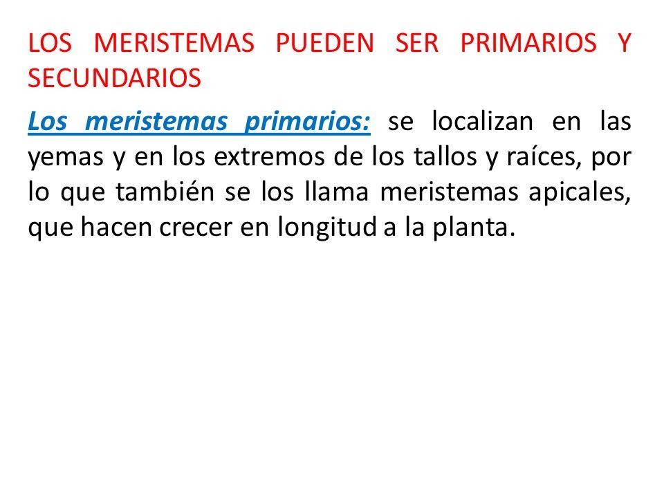 Los primeros meristemas primarios en formarse son: protodermis, meristema fundamental y proocambium