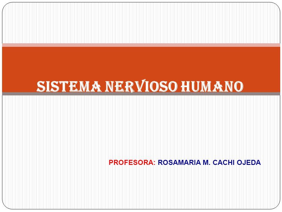 SISTEMA NERVIOSO HUMANO PROFESORA: ROSAMARIA M. CACHI OJEDA