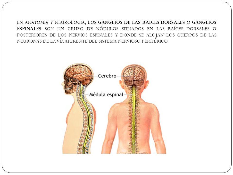 EN ANATOMÍA Y NEUROLOGÍA, LOS GANGLIOS DE LAS RAÍCES DORSALES O GANGLIOS ESPINALES SON UN GRUPO DE NÓDULOS SITUADOS EN LAS RAÍCES DORSALES O POSTERIOR