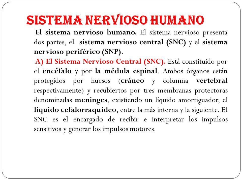 SISTEMA NERVIOSO HUMANO El sistema nervioso humano. El sistema nervioso presenta dos partes, el sistema nervioso central (SNC) y el sistema nervioso p
