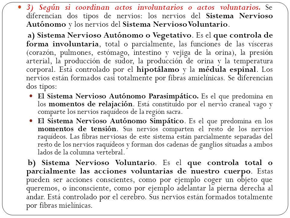 3) Según si coordinan actos involuntarios o actos voluntarios. Se diferencian dos tipos de nervios: los nervios del Sistema Nervioso Autónomo y los ne