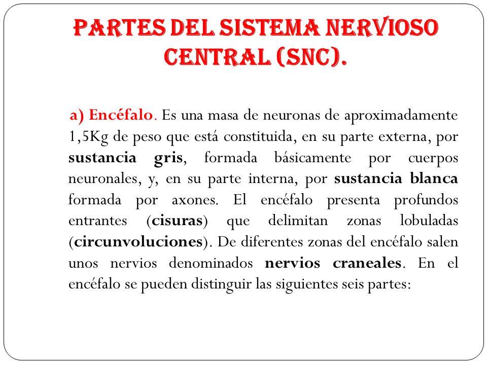 Partes del Sistema Nervioso Central (SNC). a) Encéfalo. Es una masa de neuronas de aproximadamente 1,5Kg de peso que está constituida, en su parte ext