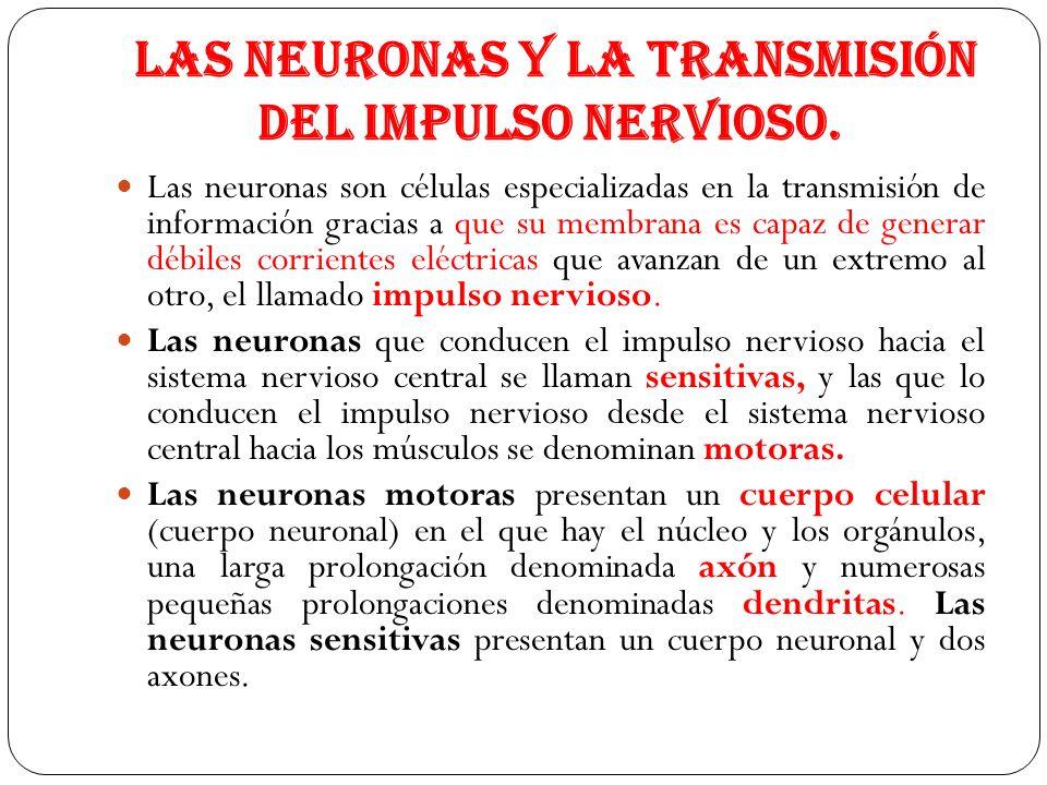 Las neuronas y la transmisión del impulso nervioso. Las neuronas son células especializadas en la transmisión de información gracias a que su membrana