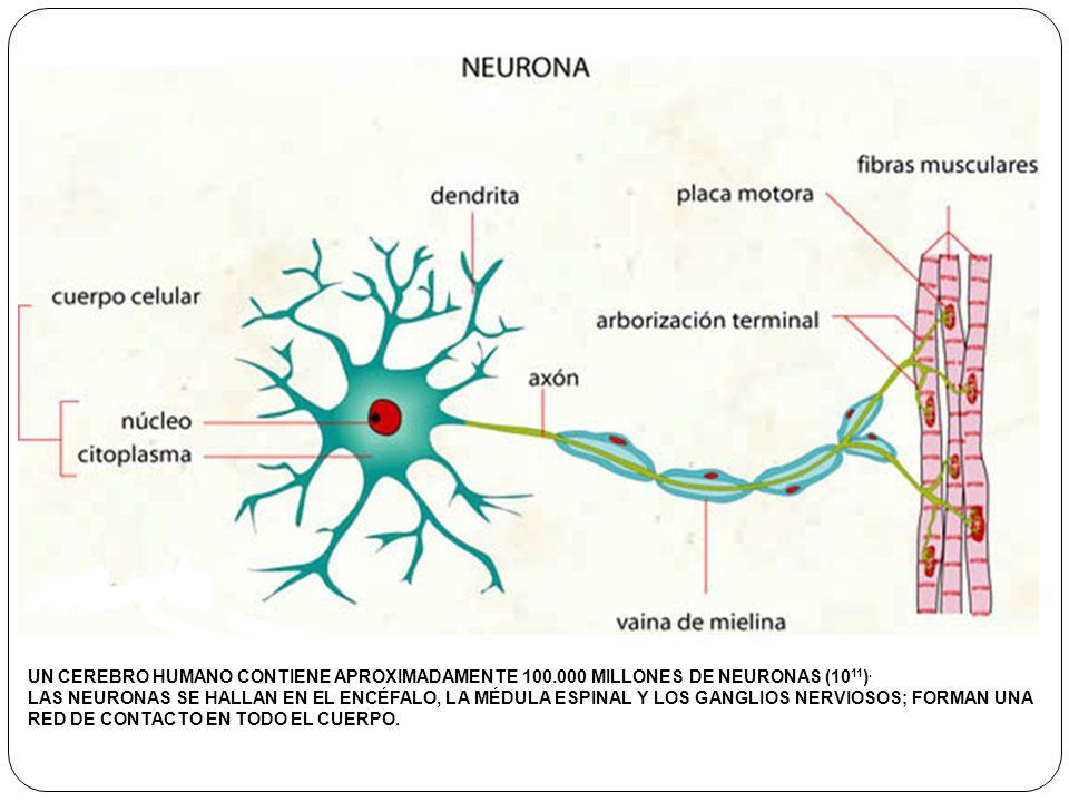 UN CEREBRO HUMANO CONTIENE APROXIMADAMENTE 100.000 MILLONES DE NEURONAS (10 11 ). LAS NEURONAS SE HALLAN EN EL ENCÉFALO, LA MÉDULA ESPINAL Y LOS GANGL