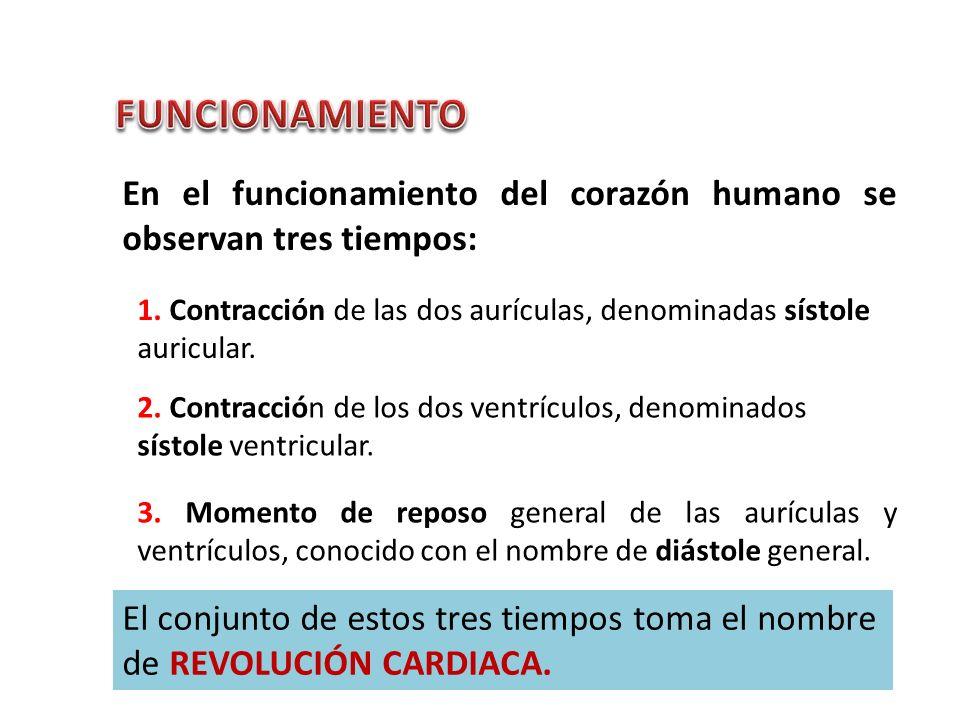 En el funcionamiento del corazón humano se observan tres tiempos: 1. Contracción de las dos aurículas, denominadas sístole auricular. 2. Contracción d
