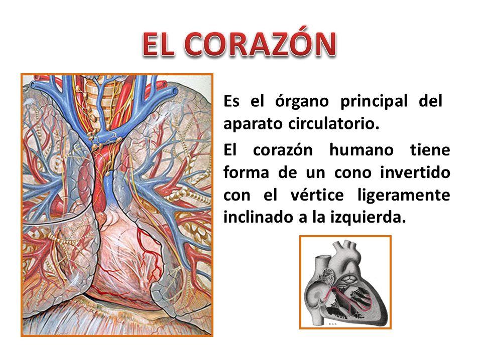 Es el órgano principal del aparato circulatorio. El corazón humano tiene forma de un cono invertido con el vértice ligeramente inclinado a la izquierd