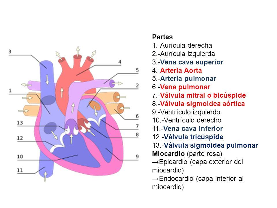 Partes 1.-Aurícula derecha 2.-Aurícula izquierda 3.-Vena cava superior 4.-Arteria Aorta 5.-Arteria pulmonar 6.-Vena pulmonar 7.-Válvula mitral o bicús