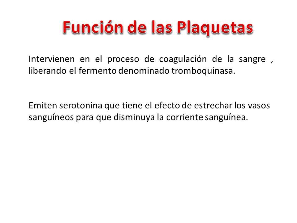 Intervienen en el proceso de coagulación de la sangre, liberando el fermento denominado tromboquinasa. Emiten serotonina que tiene el efecto de estrec