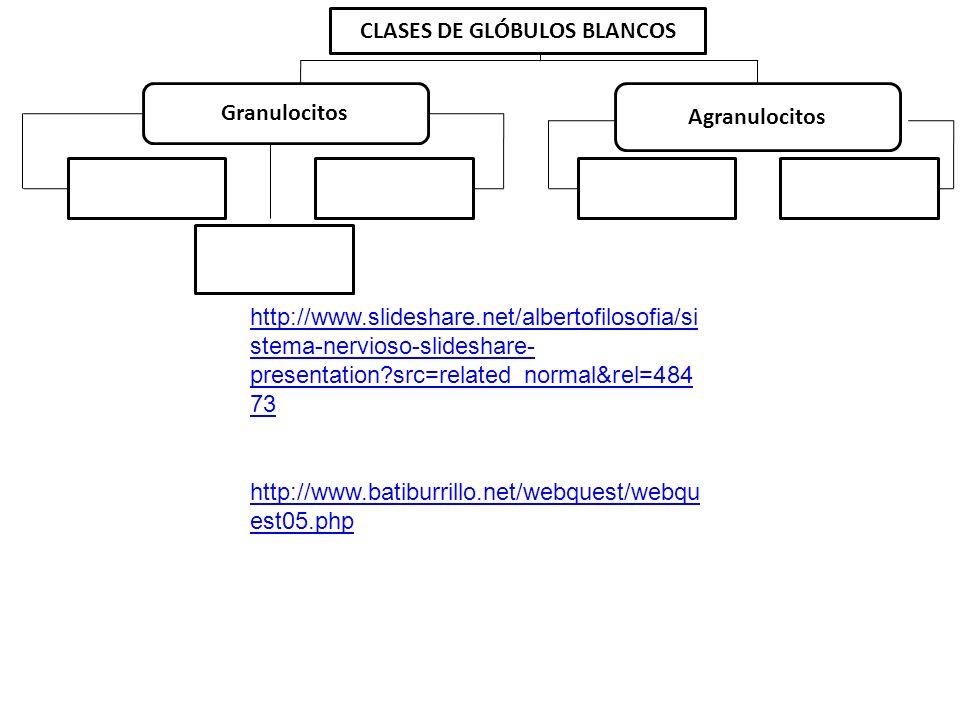 CLASES DE GLÓBULOS BLANCOS Granulocitos Agranulocitos Neutrófilos 70% Eosinófilos 3% Basófilos 0,5% Linfocitos 3% Monocitos 5% http://www.slideshare.n