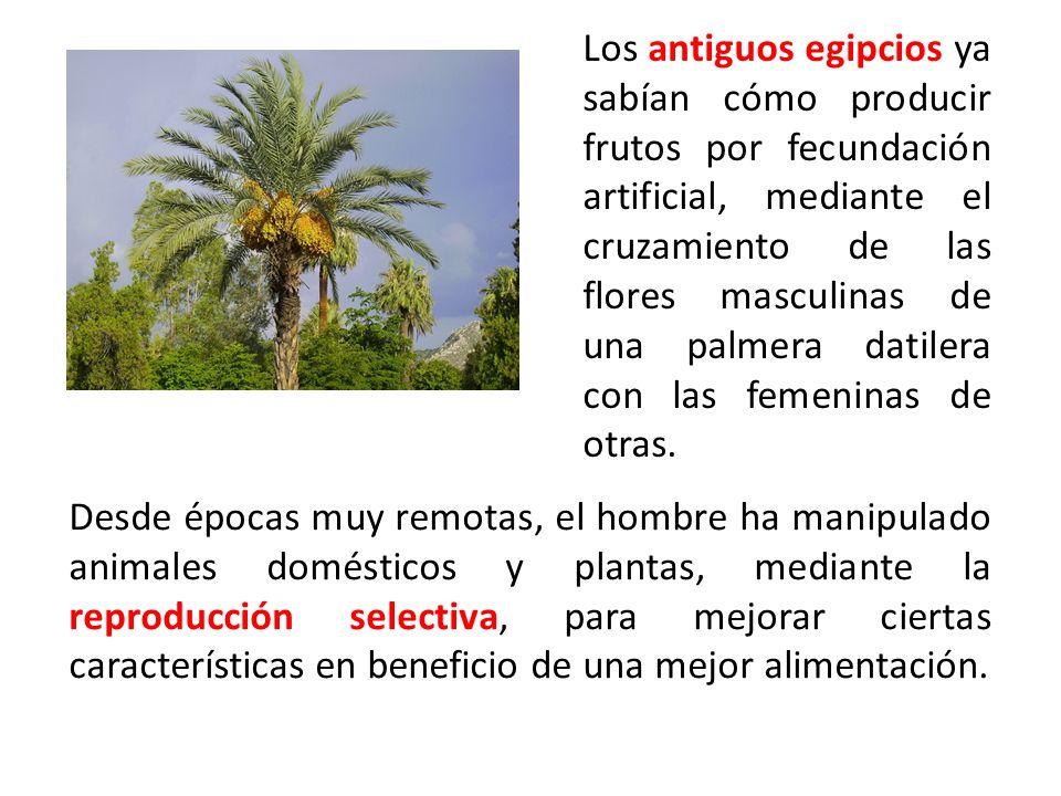 Los antiguos egipcios ya sabían cómo producir frutos por fecundación artificial, mediante el cruzamiento de las flores masculinas de una palmera datil