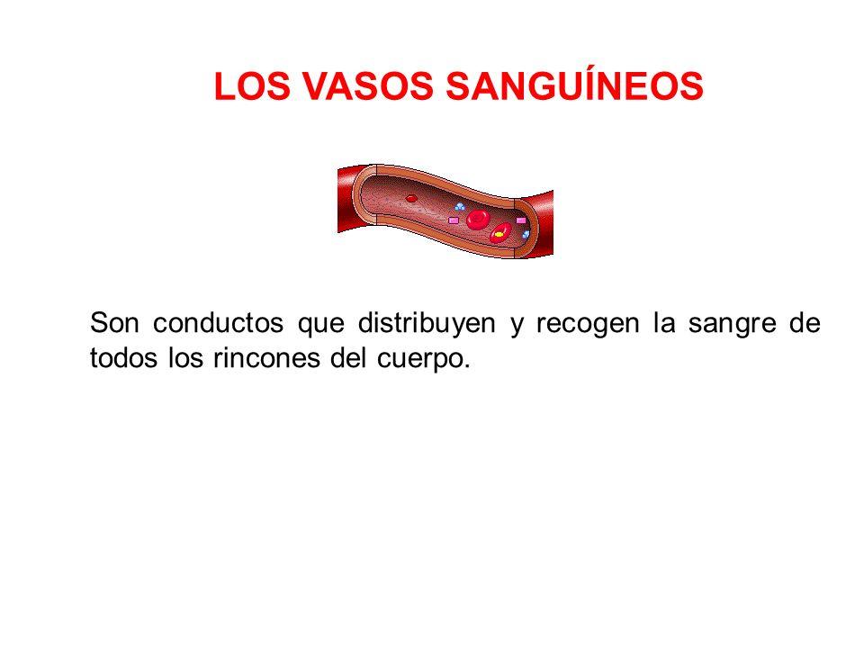 Las carótidas: Aportan sangre oxigenada a la cabeza.