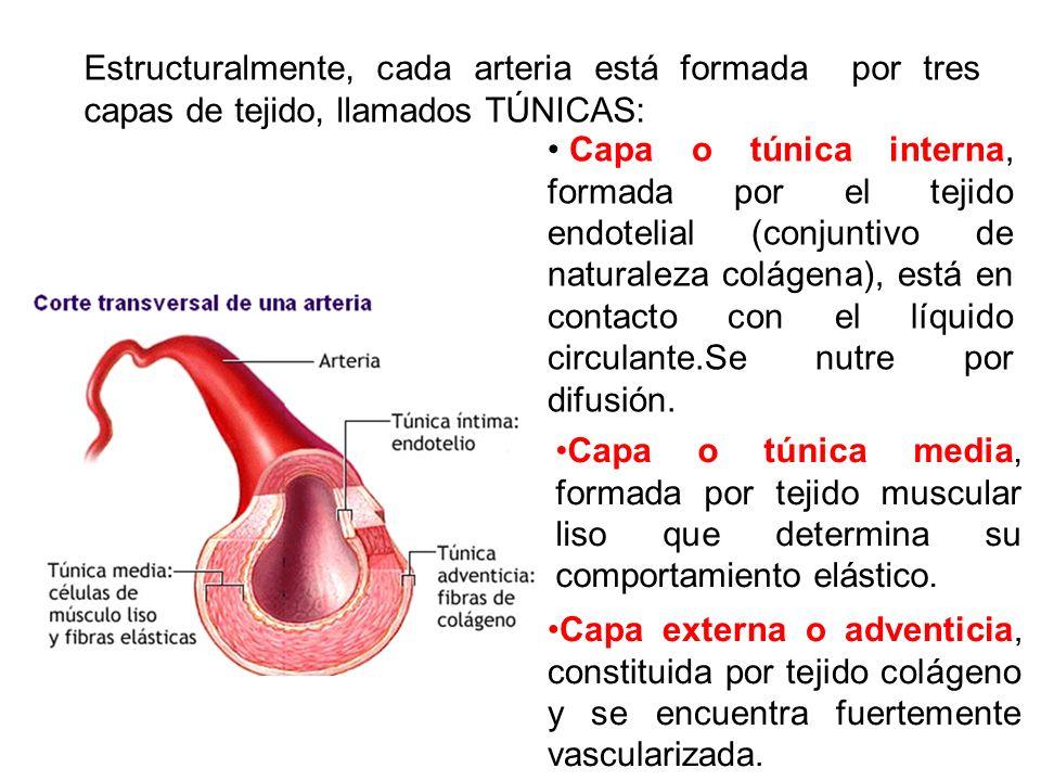 Estructuralmente, cada arteria está formada por tres capas de tejido, llamados TÚNICAS: Capa externa o adventicia, constituida por tejido colágeno y s