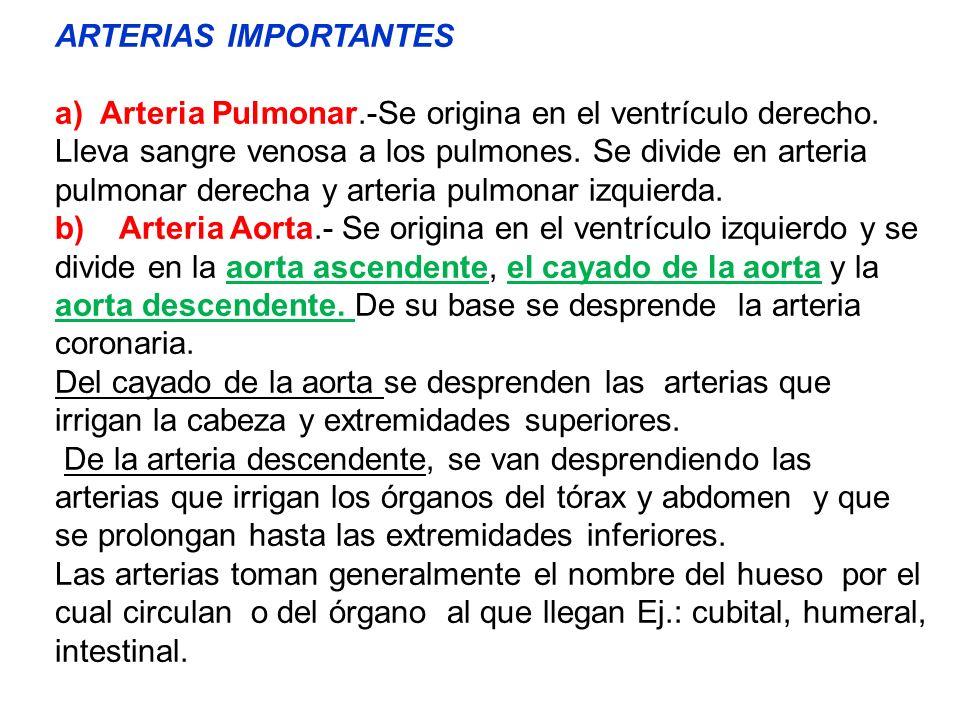 ARTERIAS IMPORTANTES a) Arteria Pulmonar.-Se origina en el ventrículo derecho. Lleva sangre venosa a los pulmones. Se divide en arteria pulmonar derec