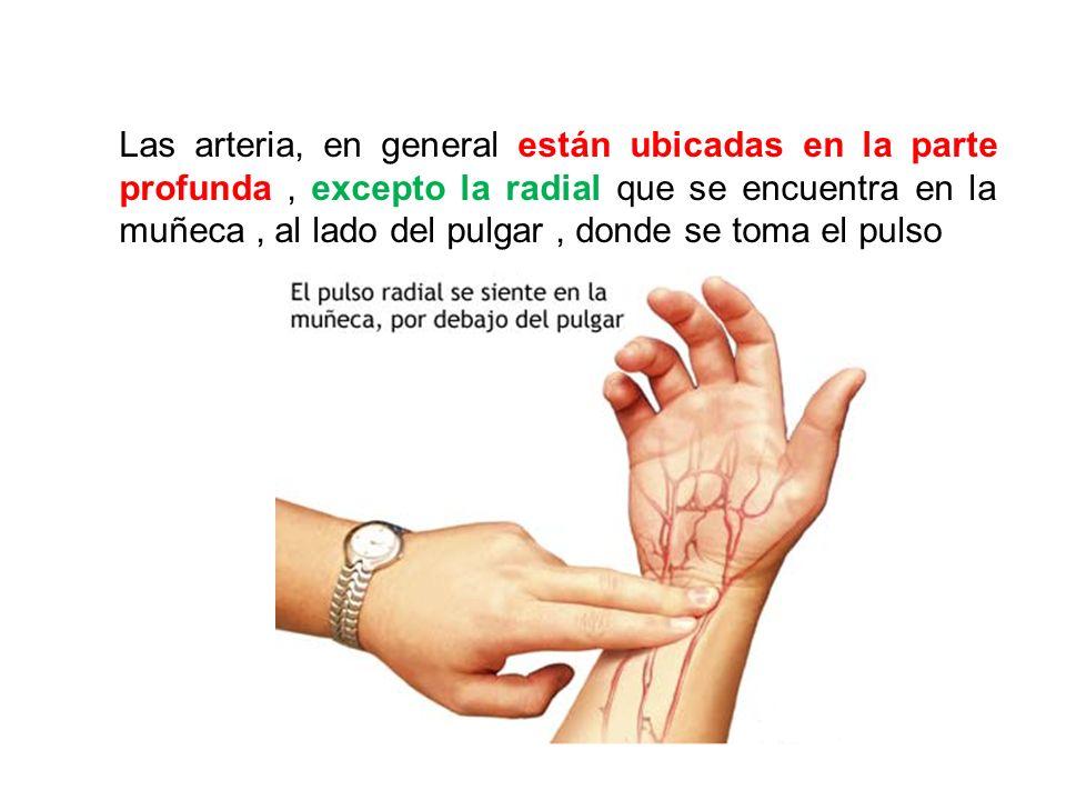 Las arteria, en general están ubicadas en la parte profunda, excepto la radial que se encuentra en la muñeca, al lado del pulgar, donde se toma el pul
