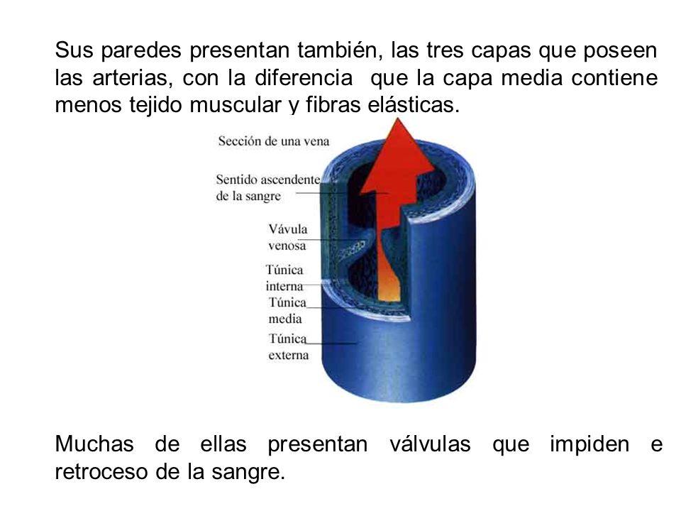 Sus paredes presentan también, las tres capas que poseen las arterias, con la diferencia que la capa media contiene menos tejido muscular y fibras elá