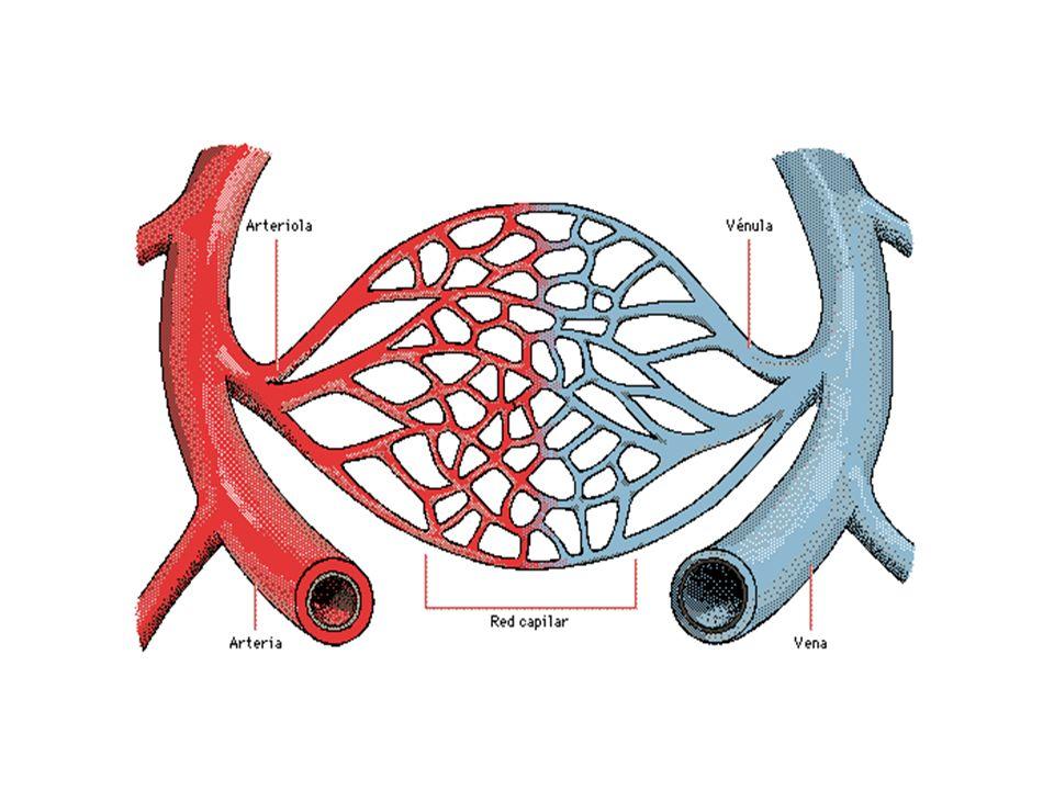 LAS VENAS ¿Cuál es su función? ¿Cuáles son las venas que conoces ? ¿Dónde tienen su origen?