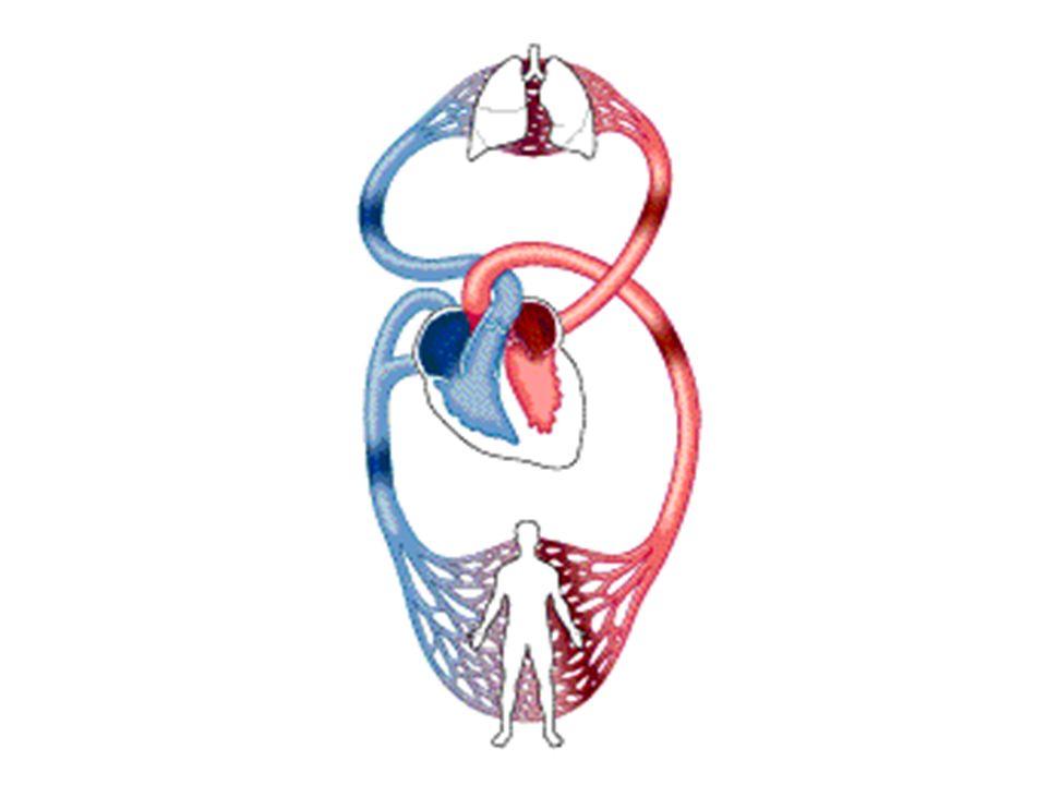 VENAS IMPORTANTES.- a) Las cuatro venas pulmonares.- Dos derechas y dos izquierdas, que se originan en los pulmones y terminan en la aurícula izquierda, conducen sangre arterial.