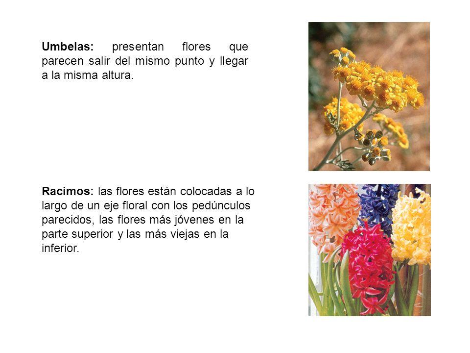 Umbelas: presentan flores que parecen salir del mismo punto y llegar a la misma altura. Racimos: las flores están colocadas a lo largo de un eje flora