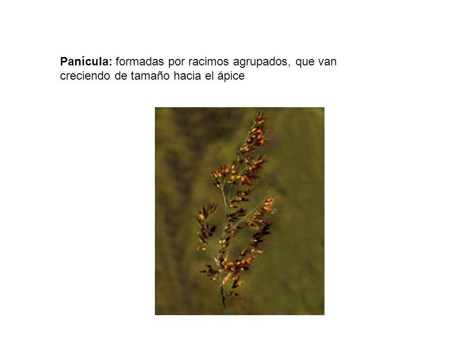 Panícula: formadas por racimos agrupados, que van creciendo de tamaño hacia el ápice