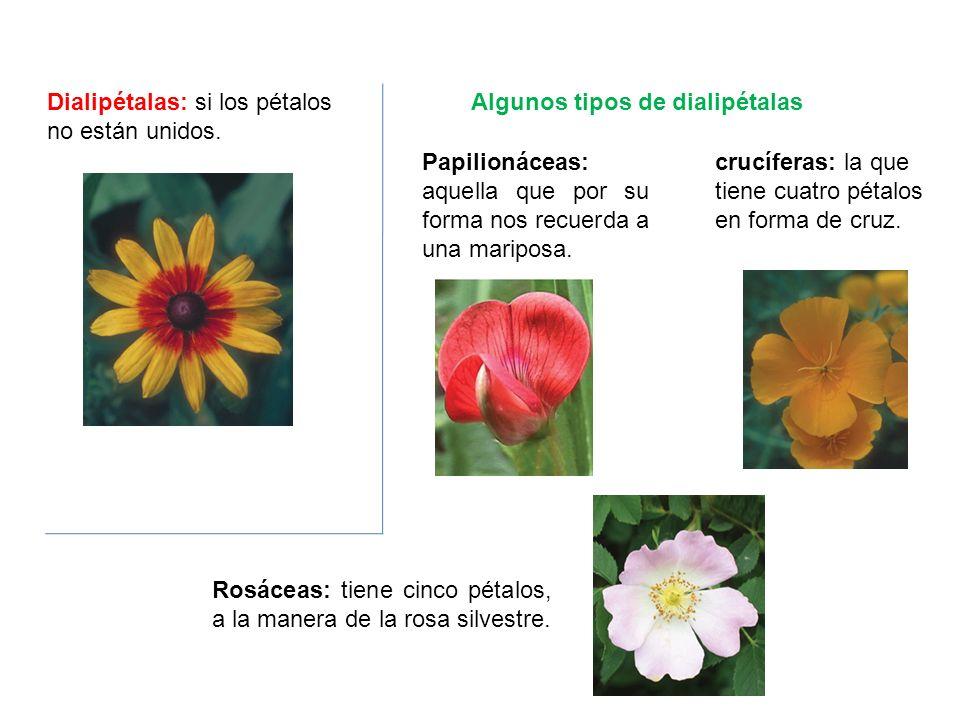 Dialipétalas: si los pétalos no están unidos. Papilionáceas: aquella que por su forma nos recuerda a una mariposa. crucíferas: la que tiene cuatro pét